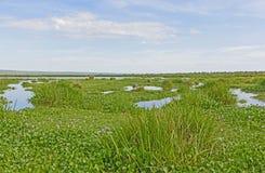 Shoebill wetland Habitat Complete with Shoebill. Shoebill in Wetland Habitat in the Victoria Nile Delta Stock Photo