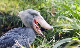 Shoebill, Whalehead Stock Photo