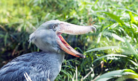 Free Shoebill, Whalehead Stock Photo - 28191380