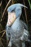 Shoebill. The Shoebill, or Whalehead, is a bigger stork-like bird. Its name come from the large shoe-shaped bill Royalty Free Stock Photo
