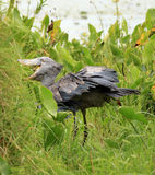Shoebill in the Wild - Uganda, Africa Royalty Free Stock Photography