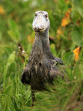 Shoebill in the Wild - Uganda, Africa Stock Image