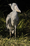 Shoebills Stock Image