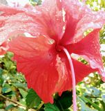 Red tropical flower royalty free stock photography