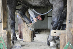 Shoeing a Horse Stock Photography