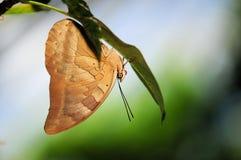 Shoemaker butterfly (underside) Stock Image