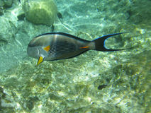 Shohal surgeon fish (Acanthurus sohal) Stock Images