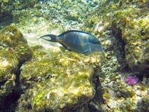 Shohal surgeon fish (Acanthurus sohal) Royalty Free Stock Image