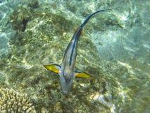 Shohal surgeon fish (Acanthurus sohal) Royalty Free Stock Photography