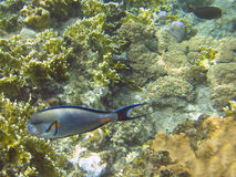 Shohal surgeon fish (Acanthurus sohal) Stock Photos
