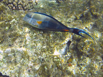 Shohal surgeon fish (Acanthurus sohal) Royalty Free Stock Photo
