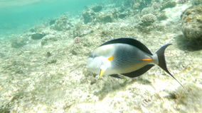 Shohal Surgeon Fish Acanthurus Sohal. Slow motion clip of a tropical fish sohal surgeonfish acanthurus sohal on a coral reef in red sea stock video