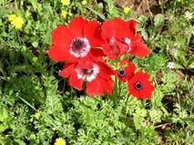Shoham森林公园冠银莲花属2007年2月 免版税库存照片