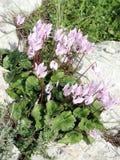 Shoham森林公园仙客来2007年 库存图片