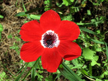Shoham红色冠银莲花属2007年2月 库存照片