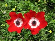Shoham红色冠银莲花属2007年2月 免版税库存图片