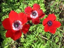 Shoham blommar den röda kronaanemonen Februari 2007 royaltyfria bilder