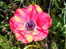 Shoham la anémona de la corona aisló 2011 Fotos de archivo libres de regalías