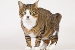 shoked的猫 免版税库存照片