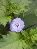 Shoo Fly Flower Stock Images