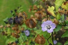 Shoo-fly plant (Nicandra physalodes) Stock Photo