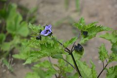 Shoo fly plant. / Nicandra Physalodes Violacea royalty free stock photos