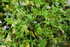 Shoo fly plant. / Nicandra Physalodes Violacea royalty free stock image
