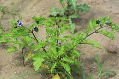 Shoo fly plant. / Nicandra Physalodes Violacea stock photography