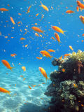 Shool of Anthias. A school of Anthias swimming around royalty free stock photos