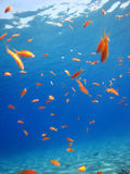 Shool of Anthias Stock Photos