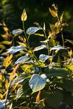 Shoot of actinidia in the garden Stock Image