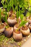 Shoot arometic coconut Royalty Free Stock Photo