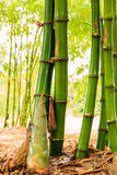 Shoot of Bamboo Royalty Free Stock Photo