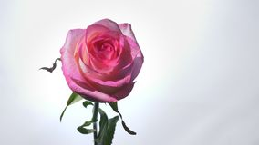 Shoot of beautiful pink rose with the background isolated on white.  stock video footage