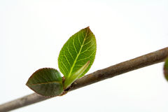 Shoot. Branch with buds in springbranch with buds in spring Stock Images