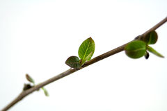 Shoot. Branch with buds in springbranch with buds in spring Royalty Free Stock Photos