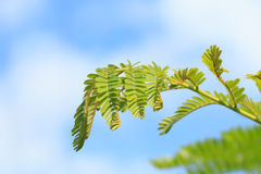 Shoot leaves on sky background Royalty Free Stock Images