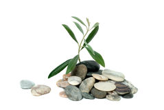 Shoot Of Olive Tree Royalty Free Stock Image