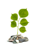 Shoot Of Tree Growing From Pebbles Stock Photography
