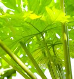 Shoot of the papaya plant. Young shoot of the papaya plant in bright sunlight Royalty Free Stock Image