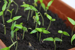 Shoot. Seedlings of red pepper in the beginning of March Stock Photo