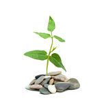 Shoot of tree growing from pebbles Stock Photo