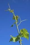 Shoot of vineyard Royalty Free Stock Image