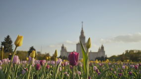 Shooting against a background of multi-colored tulips at sunset. Lomonosov State University, iconic building and stock video
