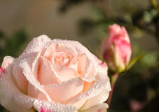 Shooting close photo of rose flower in garden Royalty Free Stock Photography