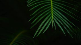 Shooting in the dark, green palms plants with long leaves. Plant palm has long thin culm and green leaves. Shooting in the dark, huge stalk grows from land stock video
