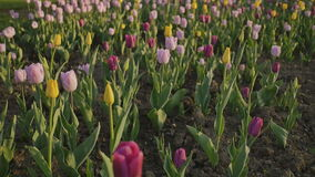 Shooting in a gentle and beautiful movement. Colorful tulip field at sunset. stock video footage