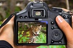 Shooting jaguar in wildlife. DSLR camera in hand shooting jaguar in wildlife (my photo Royalty Free Stock Images