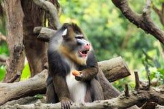 A ferocious mandrill Royalty Free Stock Photo