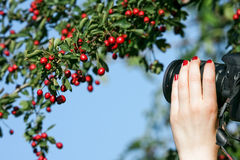 Shooting nature photo. Photographer taking a photo of red fruits against blue sky Royalty Free Stock Photography
